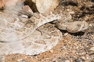 Western Diamondback Rattlesnake Coiled