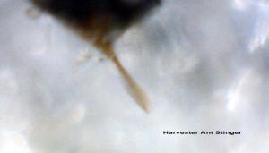 Harvester Ant Stinger