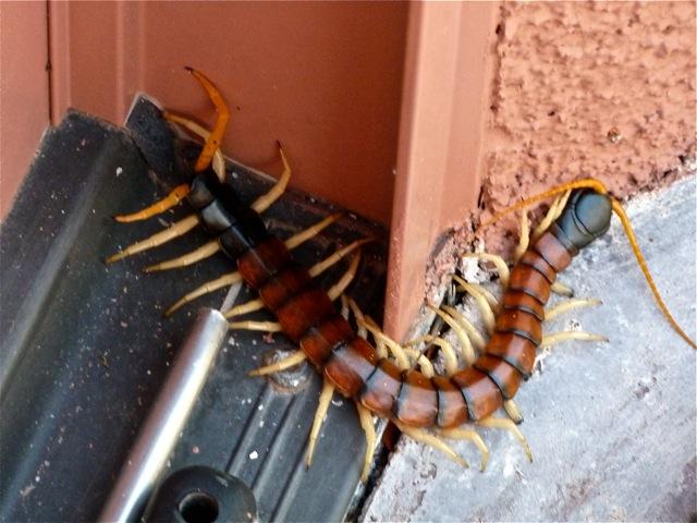 Giant Centipede Arizona Bug Company