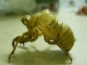 Cicada Exoskeleton Shed