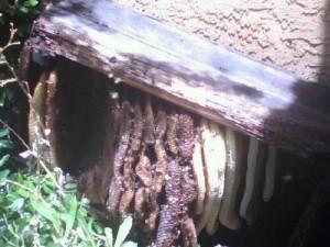 Beehive Underneath a Log in Prescott
