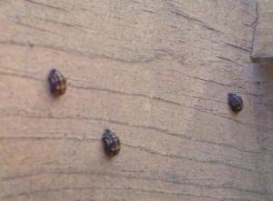Ladybug Larva Outdoors